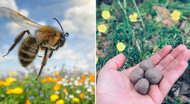 Gör egna fröbomber med blommor som bina och humlorna älskar!