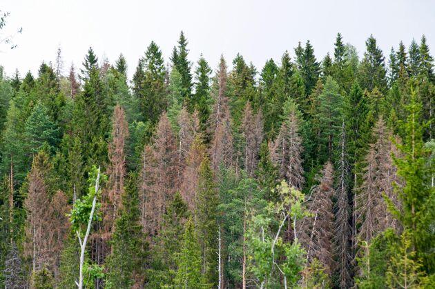 Skogsskador, skadegörare, granbarkborre, gran