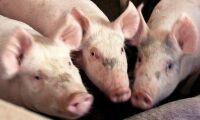 Fler grisar till slakt