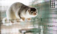 En miljon danska minkar avlivas