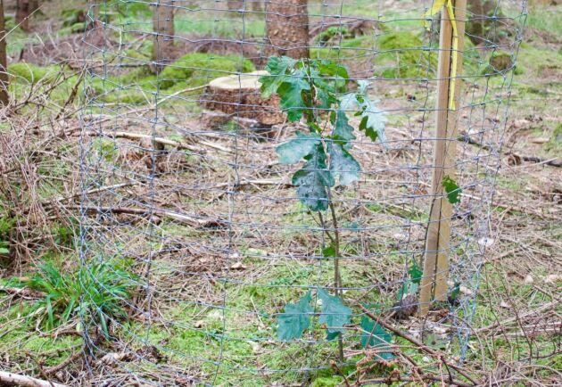 Få plantor gör att det räcker med enkla betesskydd i stället för dyr stängsling.