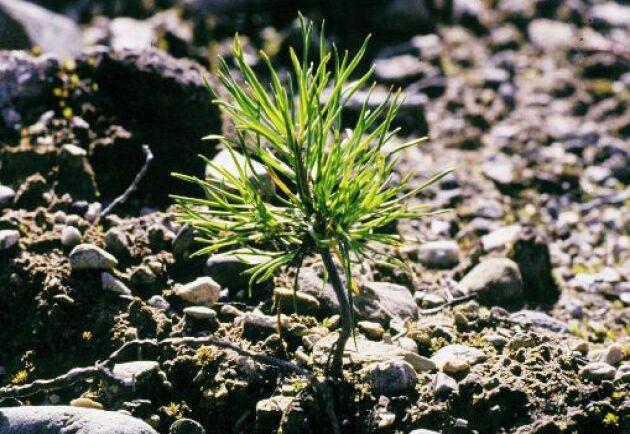 75 procent av plantorna kommer från plantagefrö från svenska skogsplantager.