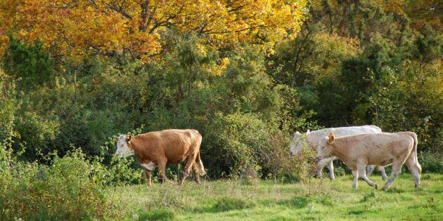 Ko-problemet i Alvesta: Nu ska djuren skjutas