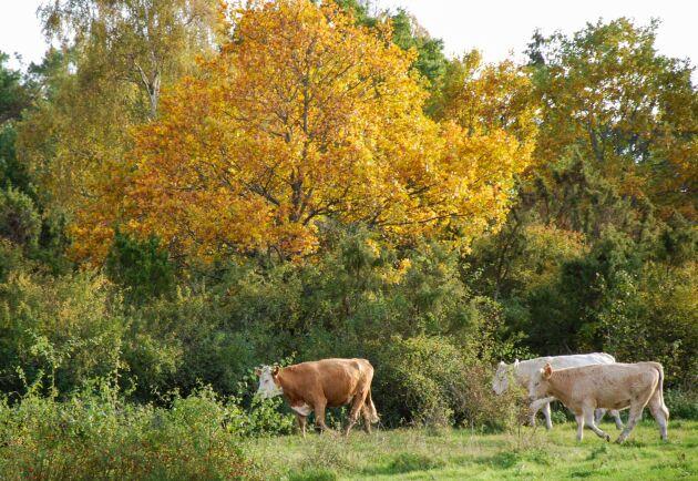 Två kor och tre kalvar som ingick i den flock som i våras härjade runt och tog över en hel by ska avlivas. Arkivbild.