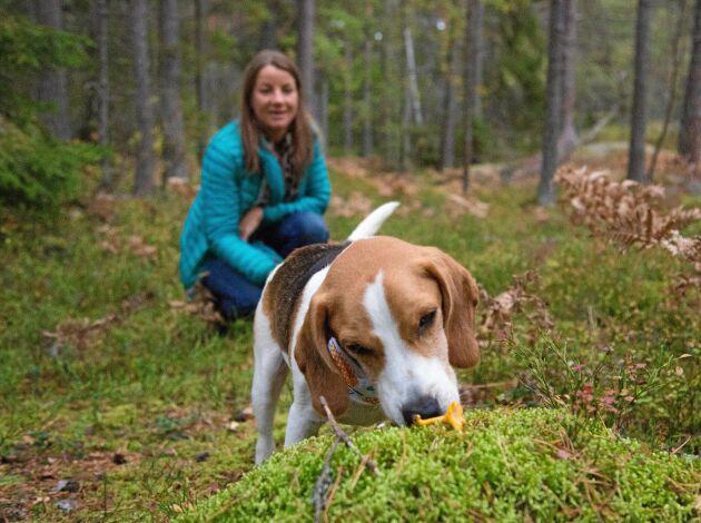 Kantarellsök är bra träning för hunden eftersom den får använda många muskler i terrängen.