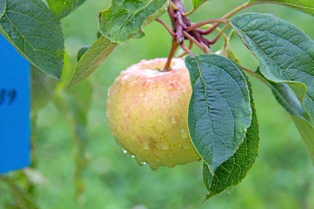 Intresset för äppelodling växer. Arkivbild.