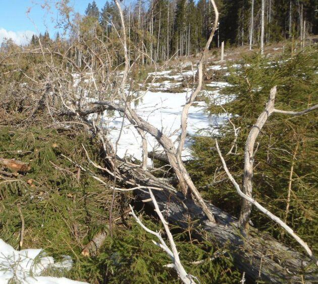 Gammalt träd. En skogsägare i Värmland är misstänkt för brott sedan en 800-årig en blåst ned.
