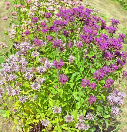Lila temynta 'Oswego' blommar vackert i lila och purpur. Plantan kan också hålla nedklippt och späda blad kan då skördas i omgångar, torkas och användas som krydda eller till te. Förodla i februari-mars för blomning samma år. Ekofrö. Lindbloms Frö.