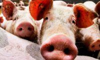 Lät 80 grisar svälta ihjäl - får djurförbud