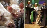 """""""Största hotet mot svensk grisproduktion är vi själva"""""""