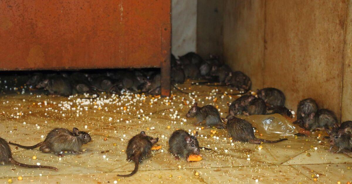 hur fungerar råttgift