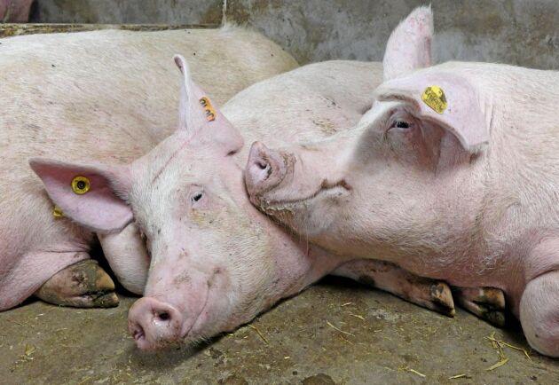 Forskning visar att grisar blir stressade och känner smärta när de bedövas med koldioxid före slakt.