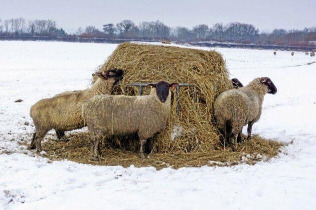 Att djur går ute vintertid förekommer på många andra ställen i världen, exempelvis norra USA och Kanada.