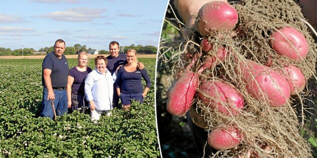 """Familjen Persson odlar 550 potatissorter: """"En dag utan potatis är en förlorad dag"""""""