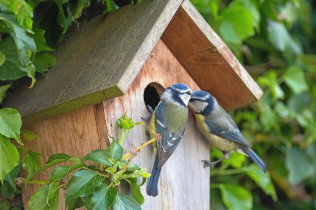 Bygg en fågelholk så att du kan titta på vackra fåglar som de här blåmesarna.