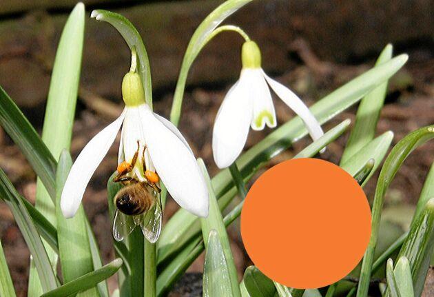 Inne i snödroppens vita klocka döljs ett brandgult pollen.