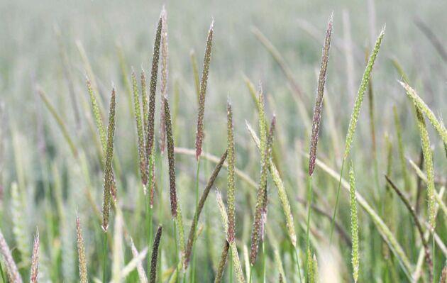 Resistens mot glyfosat har upptäckts hos renkavle i England.