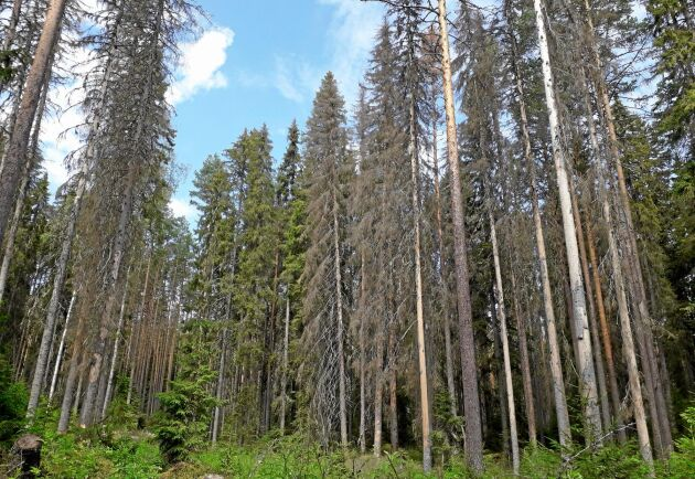 Flest granar finns i produktionsskogar och det är därifrån granbarkborrarna sprids, skriver naturvårdsdirektören.