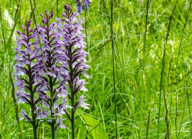 Jungfru Marie nycklar är fridlysta, liksom alla orkidéer i Sverige.