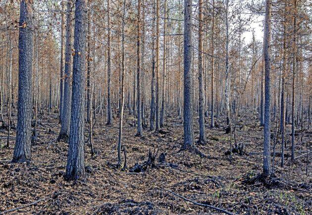 Döda träd står kvar, de återstår nu att avverka dem och plantera ny skog.