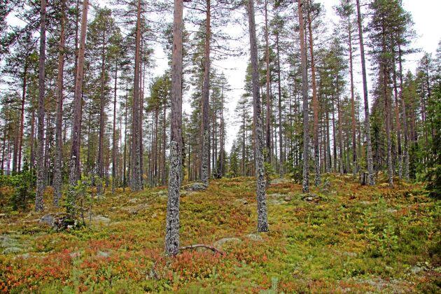 Den allmänna uppfattningen är att skogstillväxten ökar i ett varmare och blötare klimat.