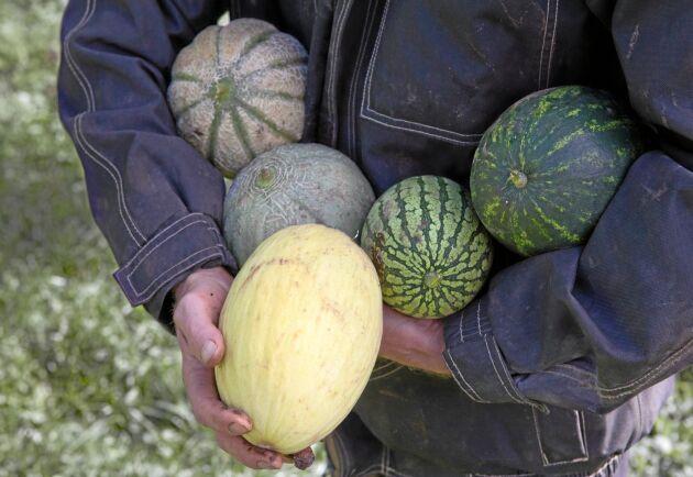 Ingmar Nilsson odlar vatten-, honungs- och nätmeloner.