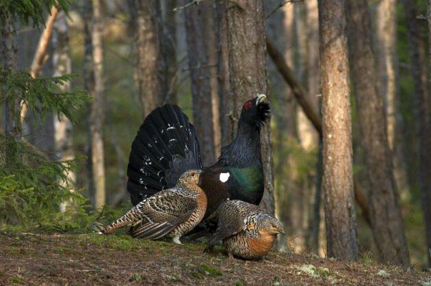 På fastigheten finns möjlighet att jaga både tjäder, älg och rådjur.
