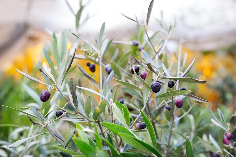 Oliverna växer och frodas mitt i vinter på den skånska slätten.