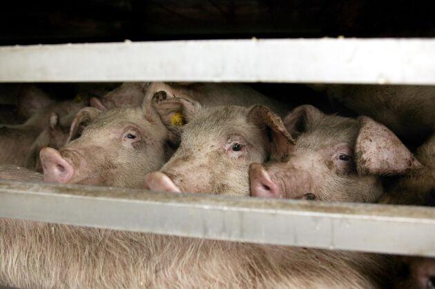 Trots att inspektörer fann slaktrester efter grisar och slakteriutrustning på gården blir det inget åtal för svartslakt. Arkivbild.