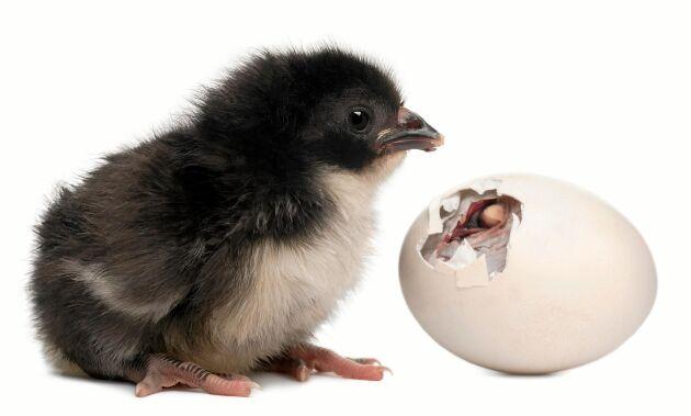 I äggkläckningsmaskinen kan du se allt från den första sprickan i ägget till färdig kyckling.