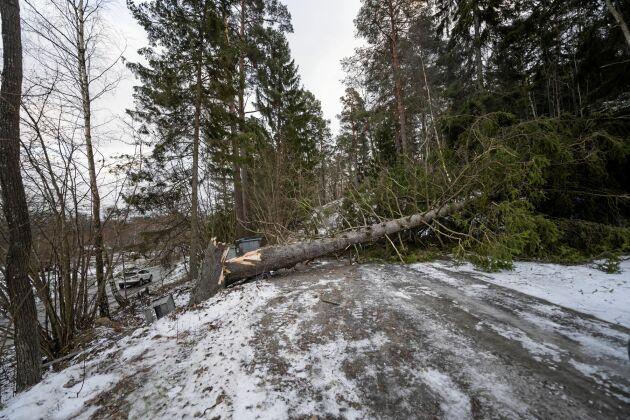 Ett träd har ramlat över vägen på Ingarö utanför Stockholm efter att stormen Alfrida dragit förbi.