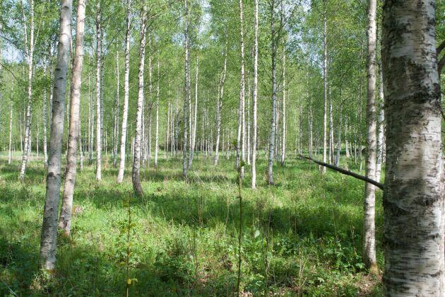 Planterad björk, Linköping.
