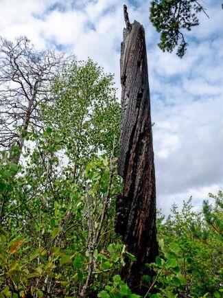 Några tallar står fortfarande kvar efter branden. Ett exempel är denna med förkolnad bark.