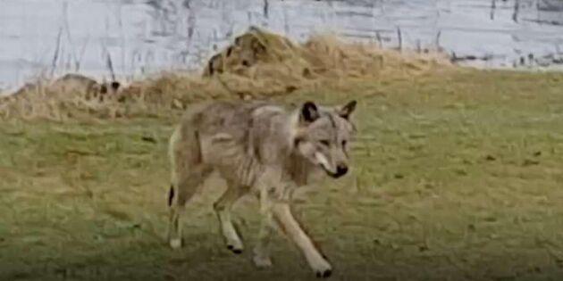 Här filmar Rolf – när vargen kommer in på tomten