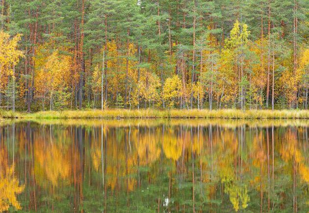 De finska skogarna är mindre med lägre förråd och en högre andel tall och björk än de svenska. Men i Finland finns tre gånger så många enskilda skogsägare.