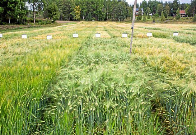 Växtförädling, som i Lännäs på bilden, sker i Sverige, men växtförädlarrättslagen används väldigt sällan i svenska domstolar.