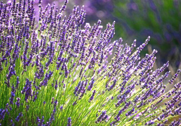 Lavendel. De eteriska oljorna i lavendel kan lindra eksem, mindre sår och brännskador.