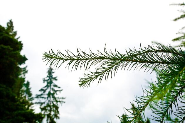 Lärksäcksmal kan drabba lärk och nu ska man med hjälp av artificiell intelligens identifiera träd som skadats av malen.