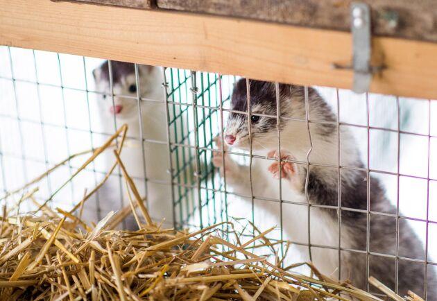 Den svenska minkbranschen spår hög efterfrågan och prishöjningar på 30–70 procent i spåren av coronapandemin.