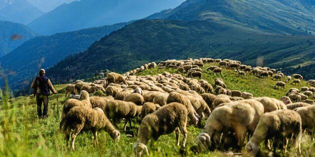 Herdeyrket på väg tillbaka – här startas kurs för att skydda mot rovdjur