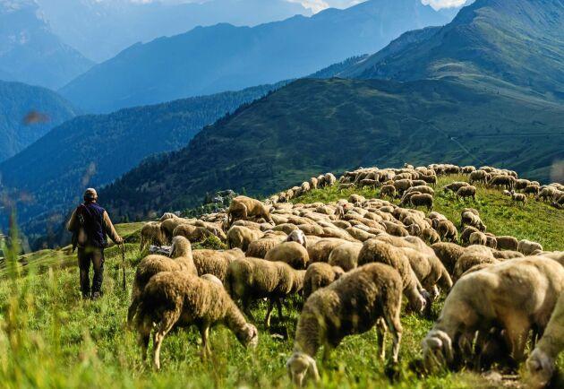 Fåraherde högt uppe i de italienska Alperna.