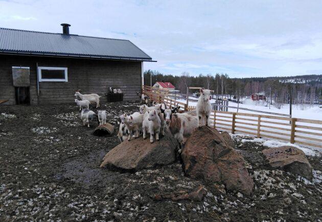 Bocken har gjort sitt jobb – nu finns 40 killingar på gården.