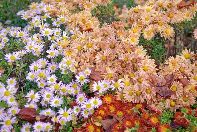 Krysantemum, Chrysanthemum indicum, är en tålig och tacksam växt i höstkrukan. Foto: IBL