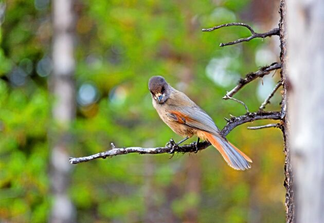 En överklagan från Birdlife Sverige kan innebära en fortsättning på turerna kring avverkningar som stoppats på grund av förekomst av lavskrika.