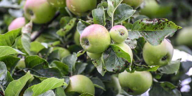 Tufft 2019 för äppelodlare