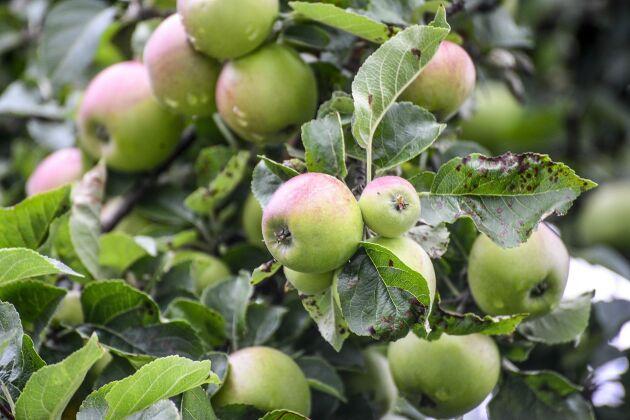 Äppelskörden minskade med 27 procent i fjol mot året innan.