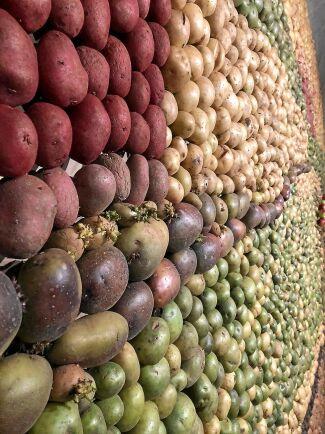 Potatistavlan består av sju sorters olika knölar i varierande färger.