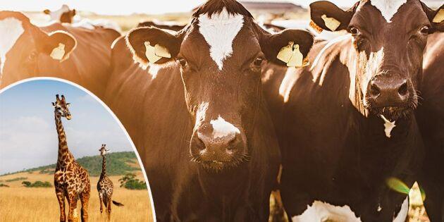 Kon kan bli största däggdjuret på land