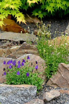 Inkilad mellan stenarna står svartklockan med sina blåsvarta blomknoppar.