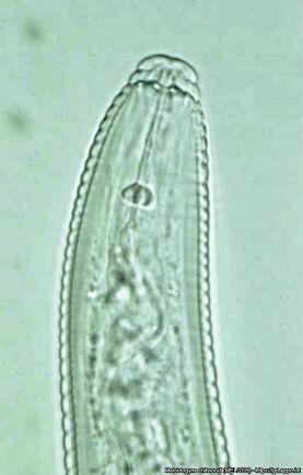 Närbild av rotgallnematodern Meloidogyne chitwoodi.